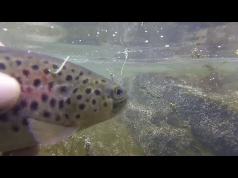 Fly Fishing Trout On Small Creek - Albany NY, May 1st, 2017
