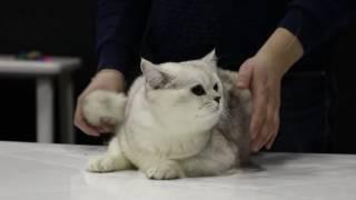 Питомник Британских кошек SAZo K & S