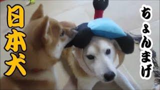 日本犬の代表である柴犬にちょんまげをやってみると…。ご覧ください。 ...