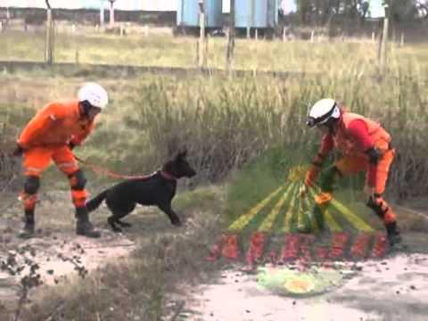 como entrenar perros de busqueda y rescate