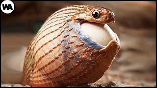 Змея, Которая Отказалась от Яда и Клыков, Чтобы Есть Яйца