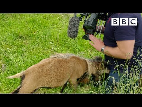 Cameraman smacked in the nuts by angry sheep 😱 - BBC