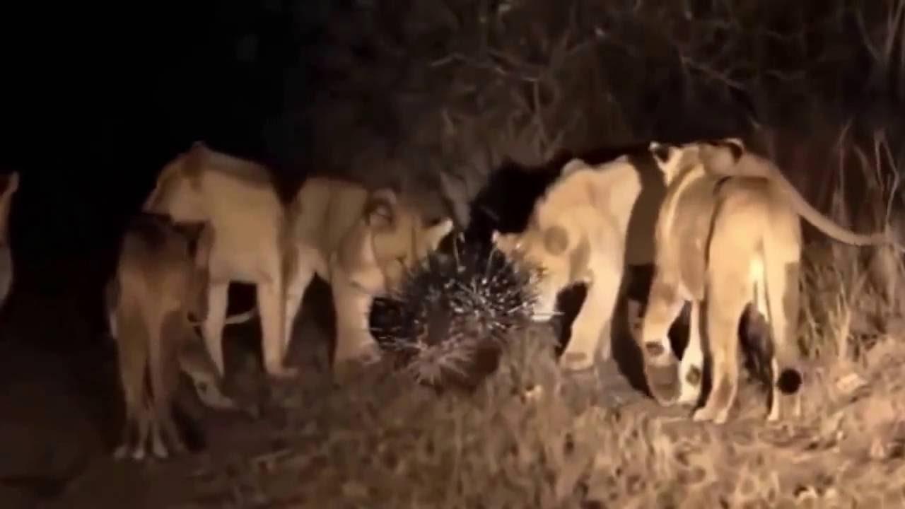 de aanvallen van wilde dieren