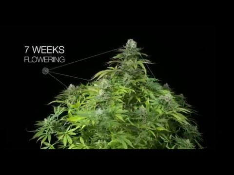 Power Kush feminized marijuana strain by Dinafem Seeds 4K