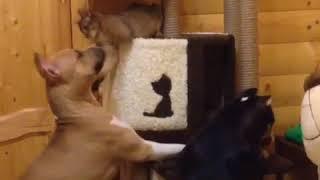 Амстафф, американский булли и Абиссинская кошка. Питомник GaidJewel's . Когда незаслуженно получил