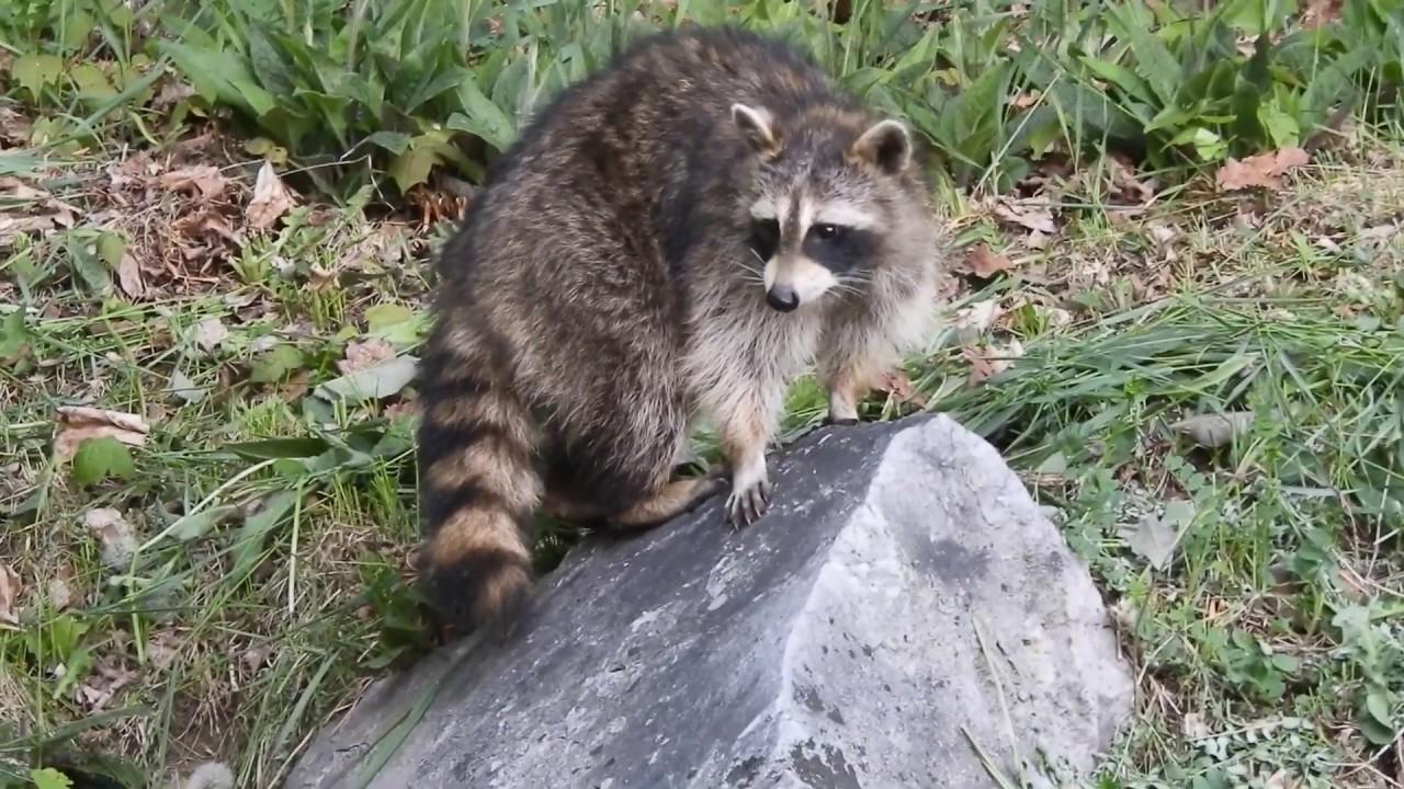 ENCOUNTER WITH FRIENDLY RACCOON IN MY YARD! #raccoon # ...