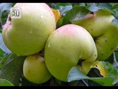 Проверенные сорта яблонь для климата Зауралья