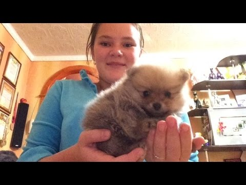 Купили собаку!!!!!шпица!!!!
