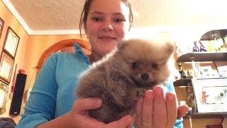 Купили собаку!!!!!шпица!!!!(Привет! Сегодня ( 5 декабря ) мне купили собаку! Приятного вам просмотра! Подписывайтесь на канал, ставьте..., 2015-12-05T19:24:02.000Z)