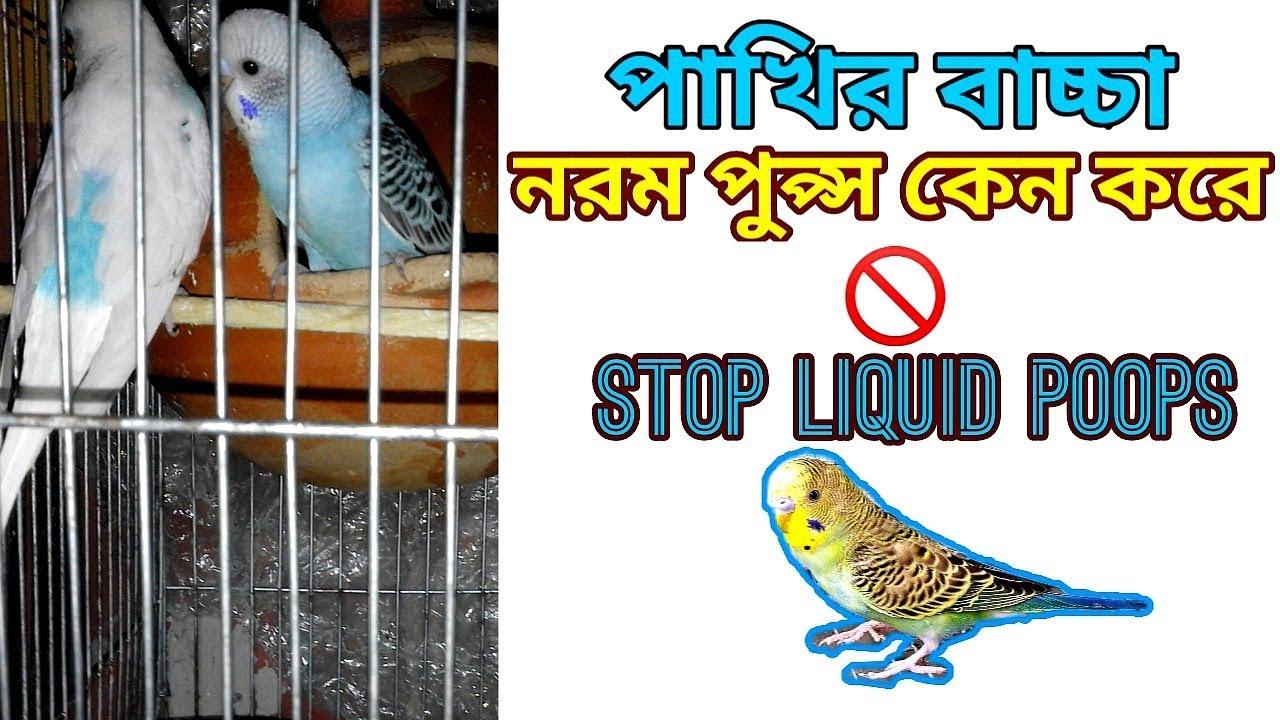 Budgies baby liquid poops problem bangla ?/ পাখির বাচ্ছা  নরম পুপ্স করে সমাধান/ birds health care.