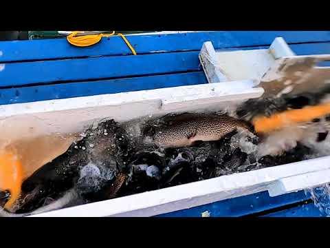 1/16/20 STOCKING BIG TROUT, SIERRABOWS & SURPRISE !?!?! AT SANTA ANA RIVER LAKES