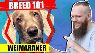 BREED 101 WEIMARANER! Everything You Need To Know About The WEIMARANER