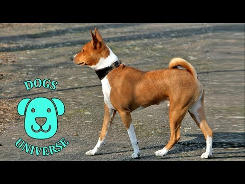 BASENJI ► Characteristics and temperament 🐶