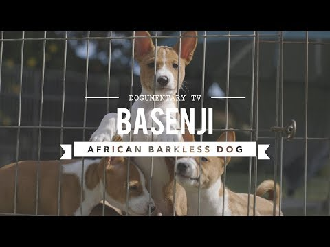 ALL ABOUT BASENJI THE AFRICAN BARKLESS DOG