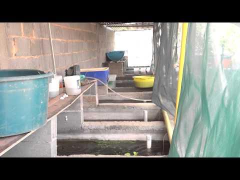 Visitando al amigo hector lopez en su criadero de peces for Criadero de peces ornamentales