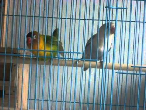 Lovebird beda warna kawin 1.MOV