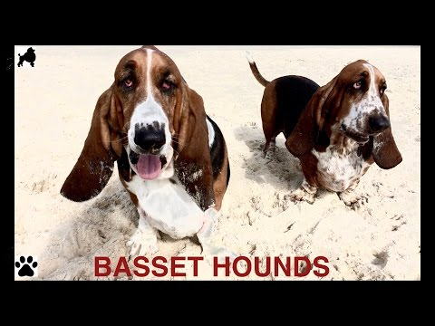 BASSET HOUND DOG BREED - HUSH PUPPY DOGS  - DIY Dog Info by Cooking For Dogs