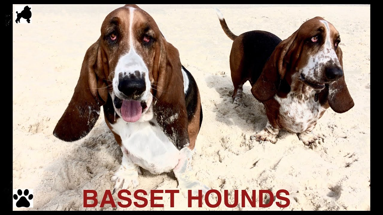 Basset Hound Dog Breed Hush Puppy Dogs Diy Dog Info By Cooking