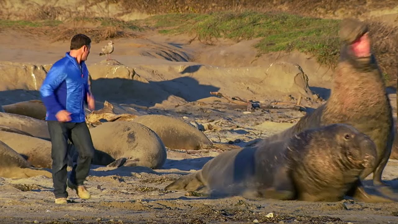 Up Close to Elephant Seals Fighting | BeachMaster | Super Giant Animals | BBC Earth