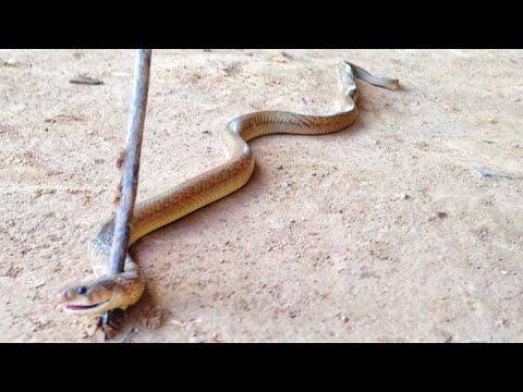 ពស់វែកដំបូកចូលស៊ីពងមាន់ / Snake In Chicken Nest. 在鸡巢的蛇 , งูในรังไก่