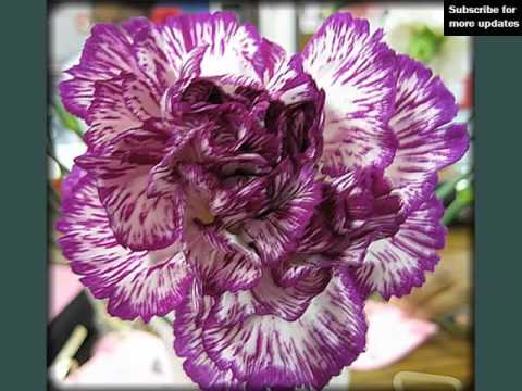 beautiful-and-lovely-flower-picture-selection- -carnation-purple