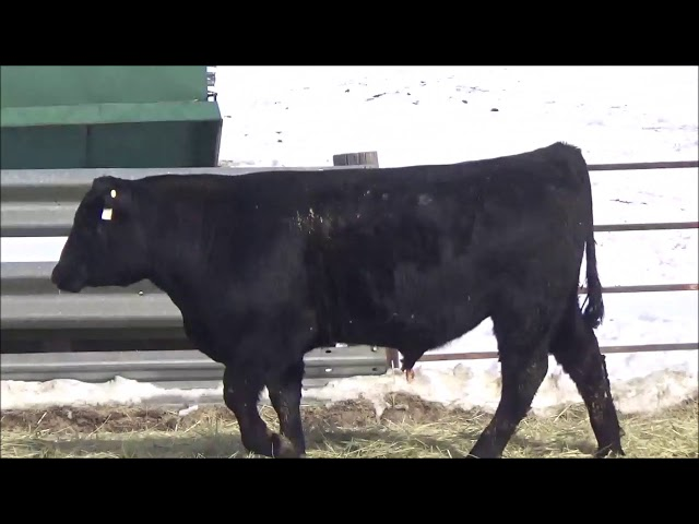 Connealy Angus Lot 375