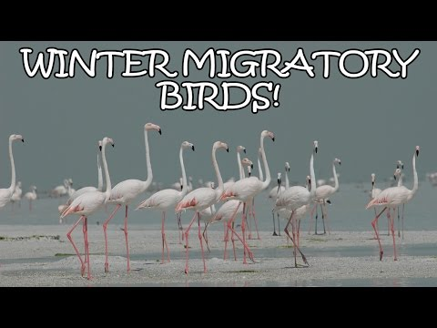 10 Beautiful Birds That Migrate To India In Winter - Tens Of India