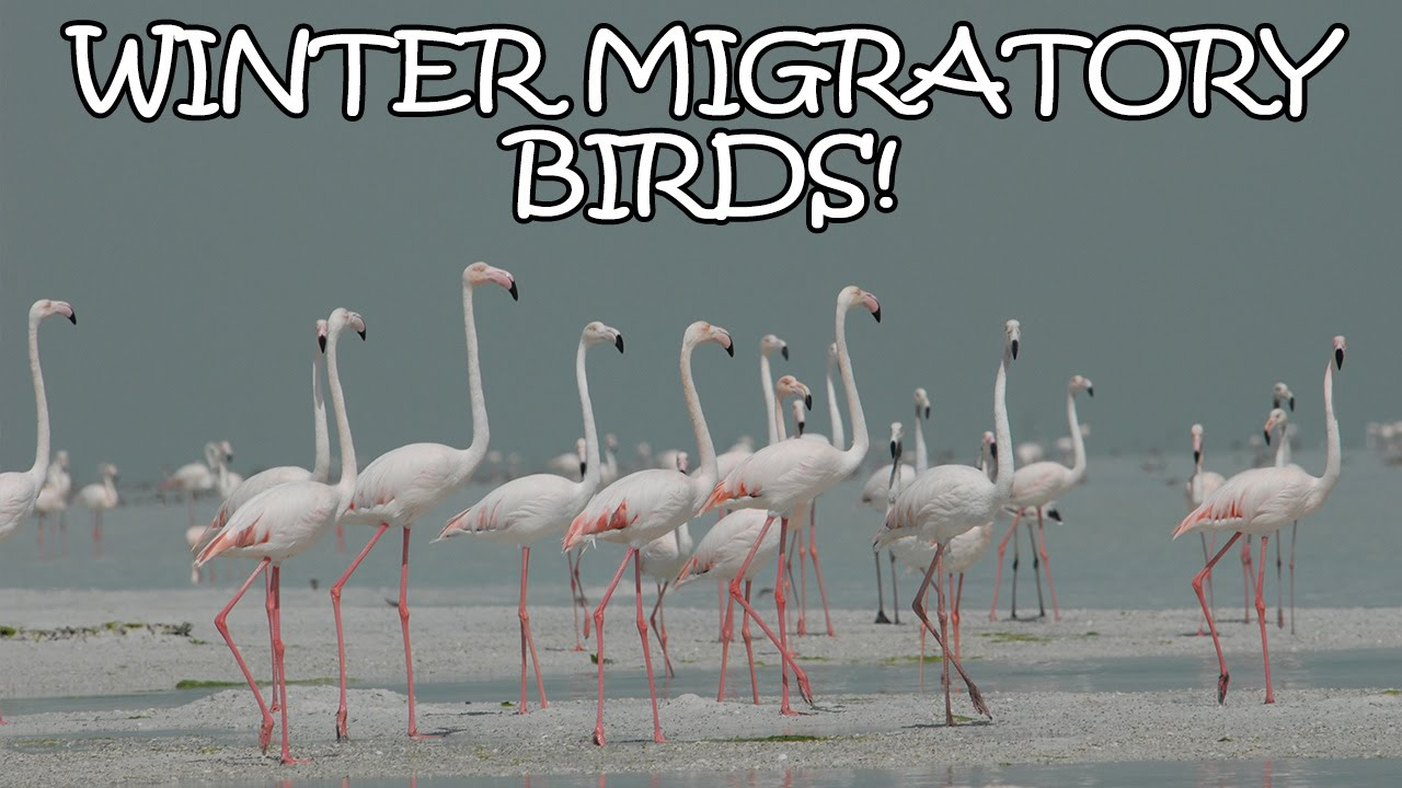 10 Beautiful Birds That Migrate To India In Winter Tens