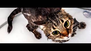 Купание кошки. Как часто мыть домашнюю кошку?