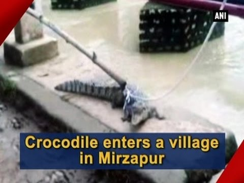 Crocodile enters a village in Mirzapur - ANI News