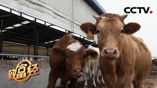 《致富经》 20201230 女白领当牛倌 养母牛巧生财| CCTV农业 - YouTube