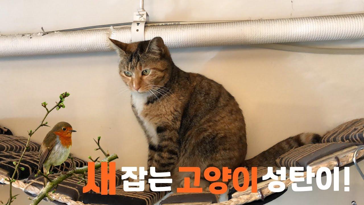 [고양이 채터링]새 잡는 고양이 성탄이!