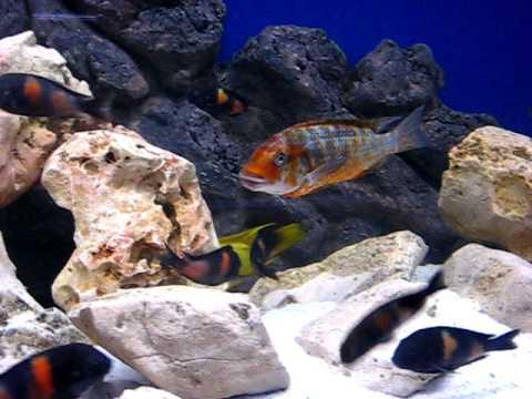 Картинки по запросу Petrochromis spec. 'Kasumbe blue'