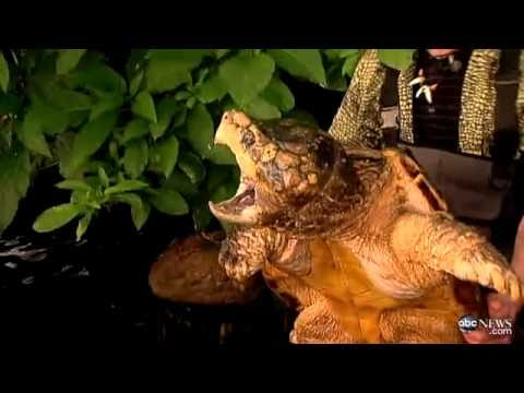 !!GIANT ALLIGATOR SNAPPING TURTLE 'WILL BITE YOUR HAND OFF'!!