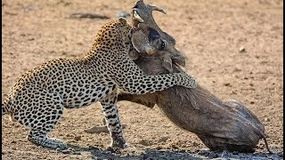 Real Animals fight Leopard, lion, huenas! Lions kill elephant - Animal attacks
