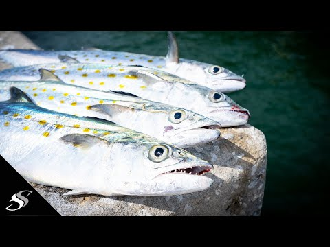 Skyway Fishing Pier Spanish Mackerel Catch & Cook
