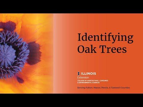 Identifying Oak Trees