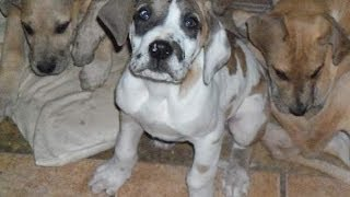 Great Dane, Puppies, For, Sale, In, Denver, Colorado, Co, Fort Carson, Black Forest, Welby, Greenwoo