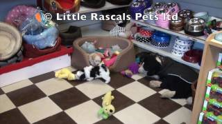 Little Rascals Uk Breeders New Litter Of Morkie Puppies