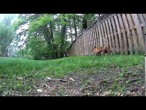 Andy Woods - Squirrel Out Foxes a Fox