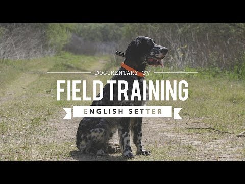 FIELD TRAINING: ENGLISH SETTER