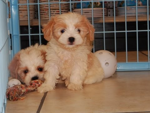 Cavachon Puppies Dogs For Sale In Denver Colorado Co