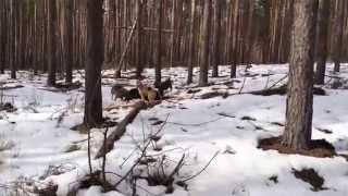 охота на кабана с лайками, видео