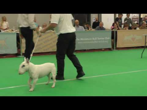 Miniature Bull Terrier Club International Weekend 2016 Postgraduate Dog