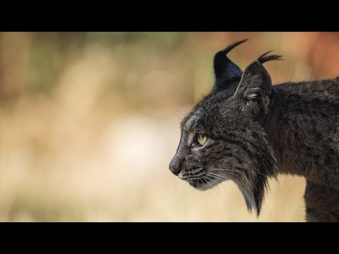 Wex Pro | Luke Massey: Iberian Lynx, Part 3