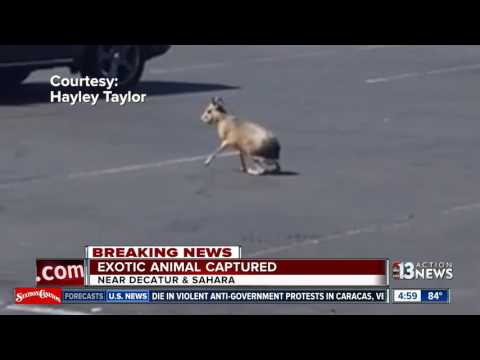 Officers catch loose exotic rodent in Las Vegas