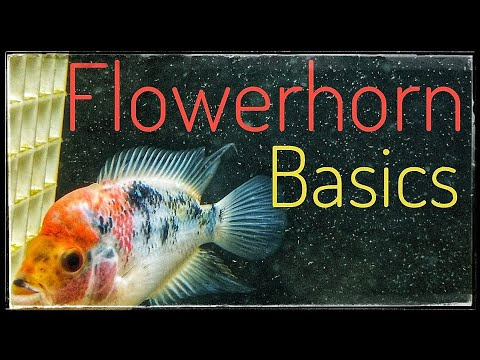 Flowerhorn Care Guide: Simple!