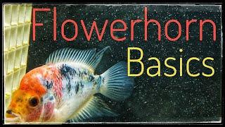Flowerhorn Simple Care Guide!