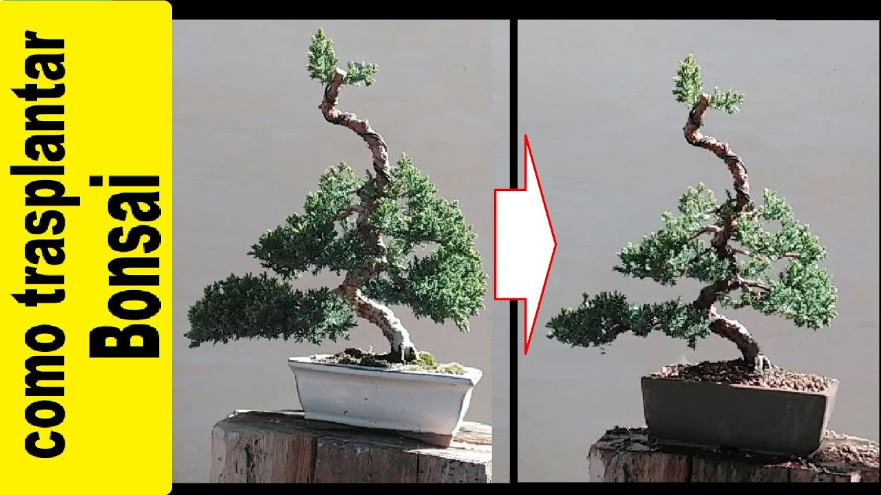 Trasplantar Sonare Bonsai Juniperus Procumbens Nana Youtube - Trasplantar Bonsai