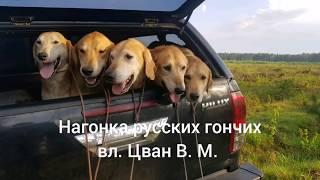 Нагонка русских гончих вл. Цван В. М.